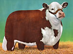 "A Modern Hereford Bull - 14"" X 18"" Full Color Print. by American Hereford Association."