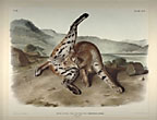 Texan Lynx. Hand-Colored Lithograph …